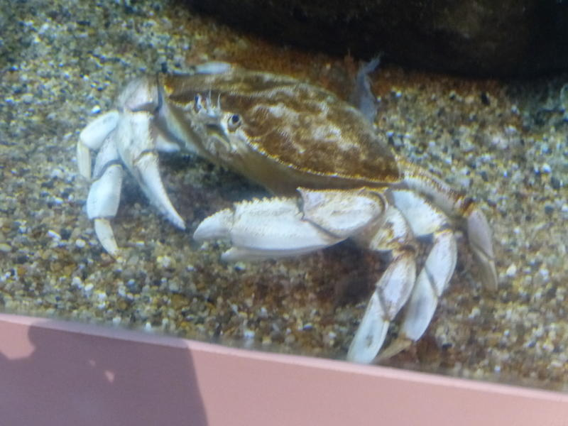 Crabbers donated rare albino crabs to OCA.