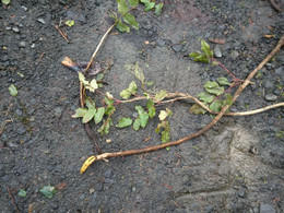 Oregon Grape plants left behind after being pulled up by the roots.