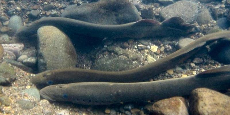 """Pacific Lamprey are not invasive, and are actually a """"species of concern"""" for many conservation groups. Researchers hope to learn more about these fish and restore their numbers to levels last seen 50-60 years ago."""