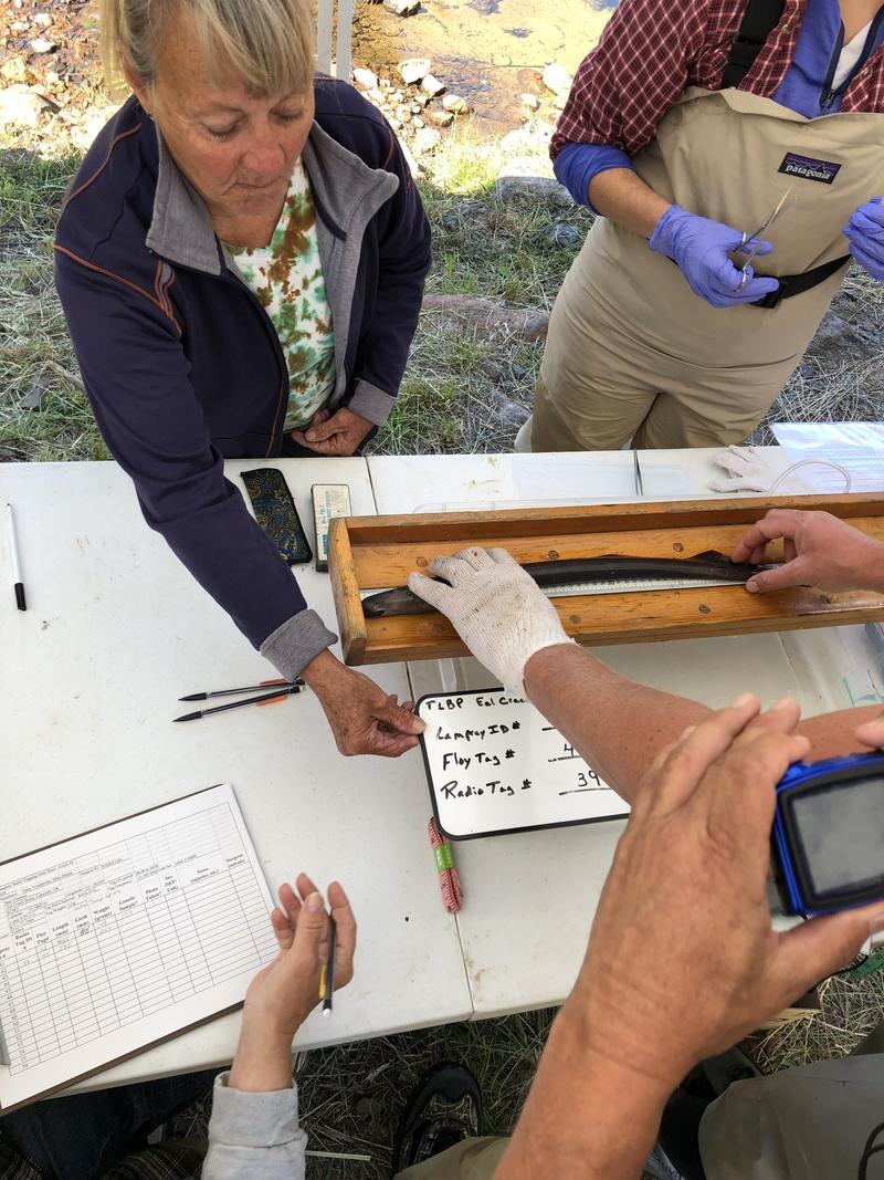A team goes to work, weighing, measuring, and photographing the lamprey for tracking purposes.