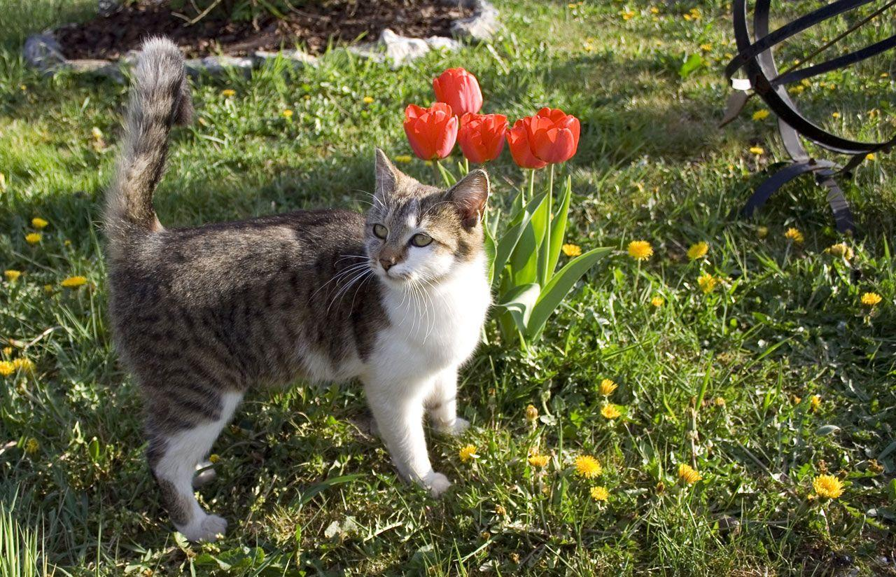 Topic des chats - Page 34 Cat-next-to-the-red-tulips-on-the-garden