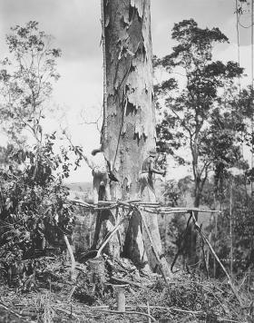Felling a Favina Branca with hand axe, Fordlandia 1931.