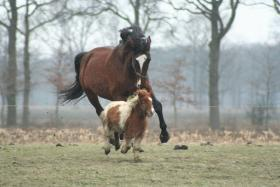 Owners pair their horses with companion ponies, sidekicks that keep them social.