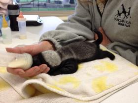Diablo the honey badger as a baby. He was hand-raised at Tanganyika Wildlife Park.