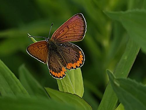 Sighting of a Bronze Copper butterfly.