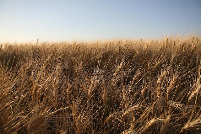 A crop of wheat growing.