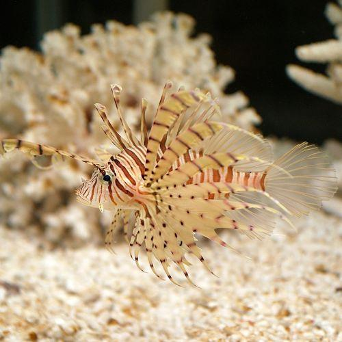 Lionfish have become a threat to some ecosystems and fishing industries.