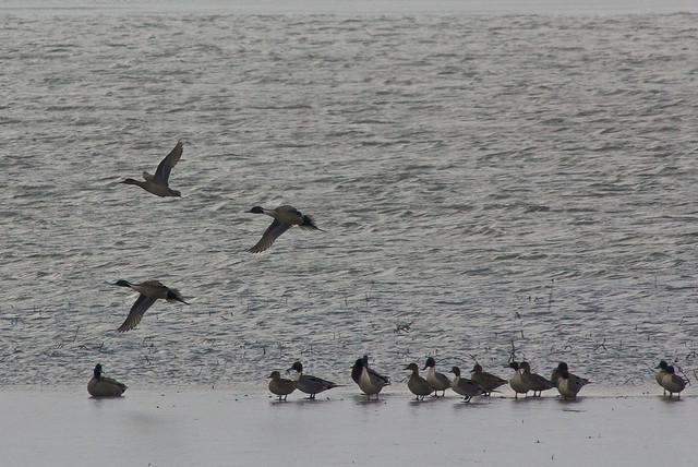 Spring duck migration at Cheyenne Bottoms in Kansas.