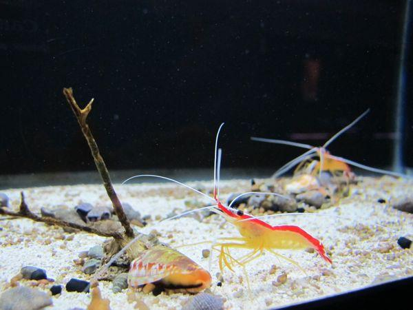 Aero crab and cleaner shrimp