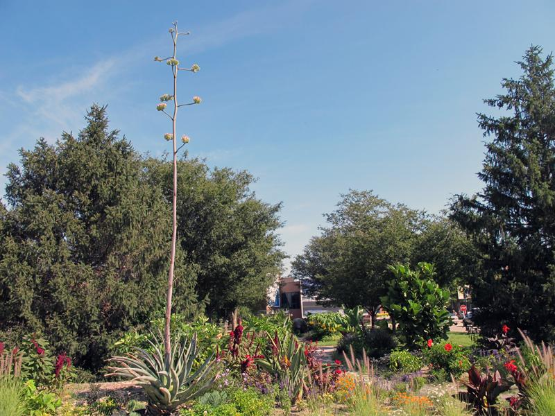 The nearly 30-year-old agave plant is in mid-bloom at Wichita State.
