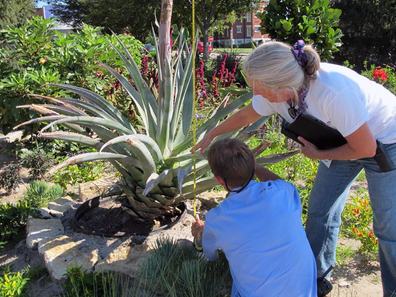 Kari Ossman(right) gets help measuring the massive plant.