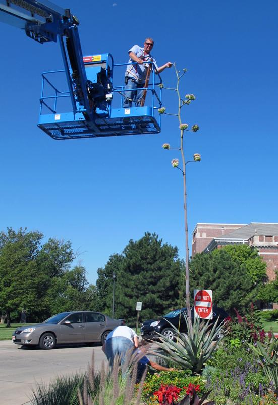 Using a Genie Lift, the century plant was measured. It's currently 19 feet and 7.5 inches.