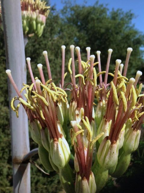 A closeup of the flowers blooming on the century plant.