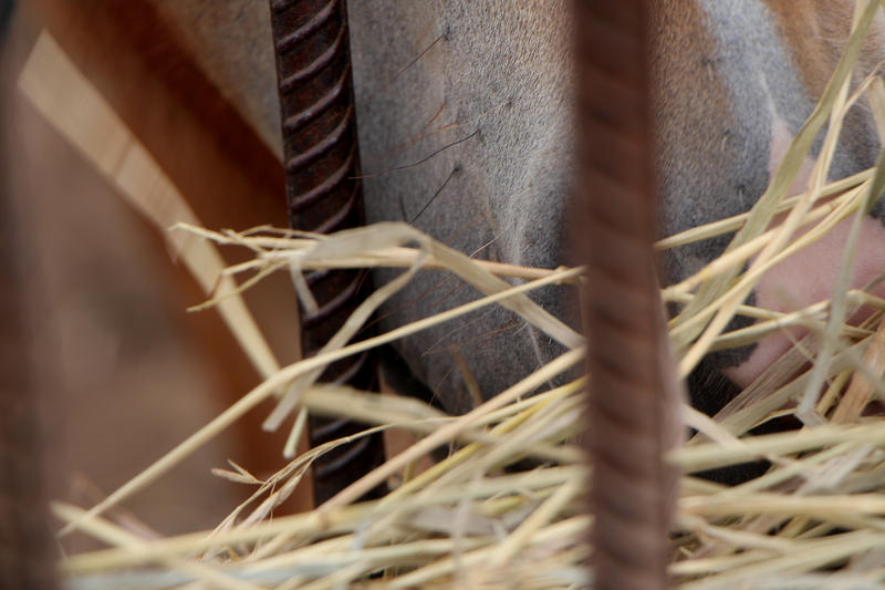 A wild horse chomps down on some hay. All of the feed these animals consume are either grown at site also operated by inmates, or from grass collected at a nearby airport.