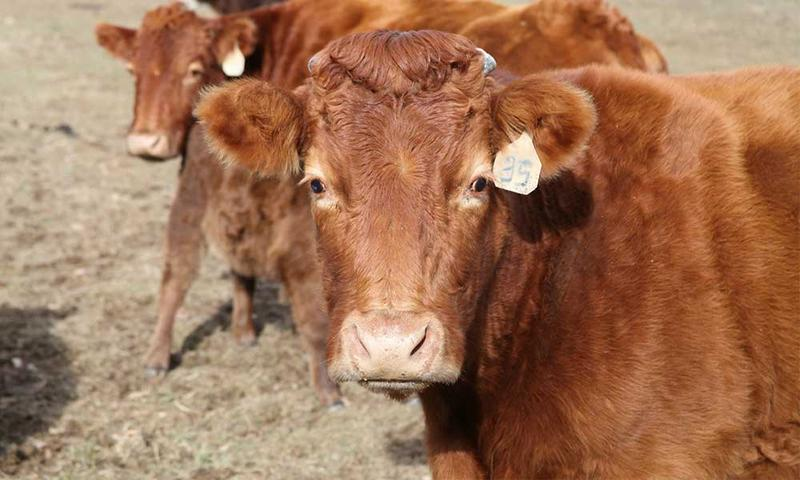 Several ongoing investigations into cattle thefts are underway throughout Kansas.