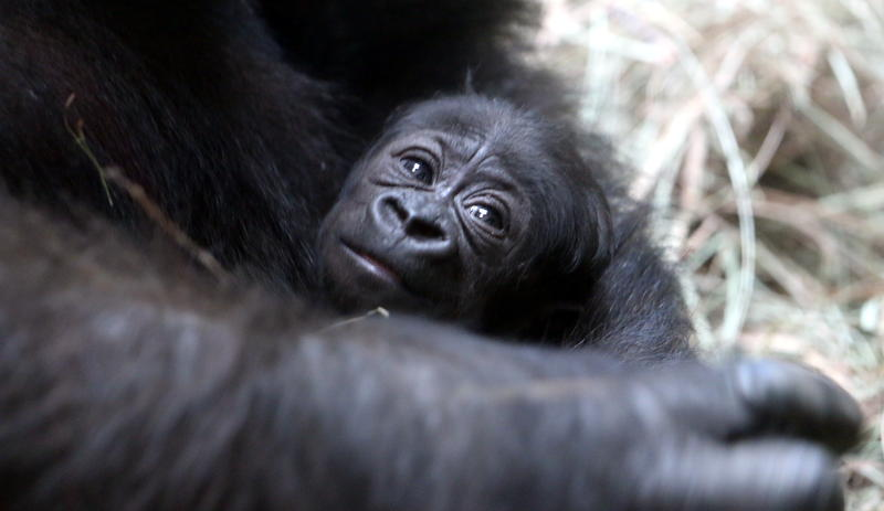 The unnamed 2-week-old gorilla peeks out from her mother's arms.