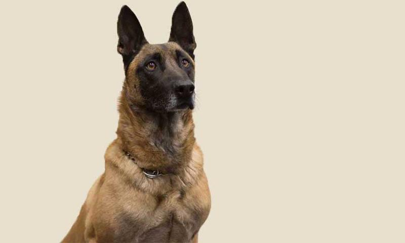 K9 officer Rooster was killed in the line of duty on March 18, 2017.