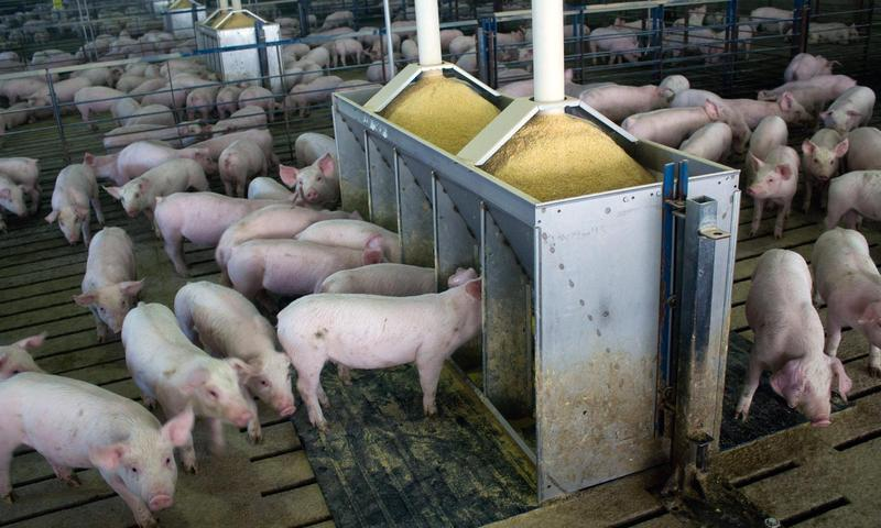 The World Health Organization says antibiotics should not be used to keep pigs and other livestock from getting sick, but U.S. agencies say the scientific evidence does not support such restrictions.