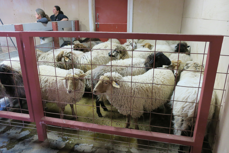 Sheep wait in a holding pen until it's their turn.