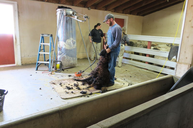 A sheep awaits the trimmers on shearing day at the Sedgwick County Zoo.