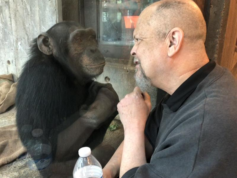 Sedgwick County Zoo's senior vet, Dr. William Bryant, engages with chimpanzee Audra's son. Dr. Bryant says the chimp is growing fast like his dad and is now larger than his mom.