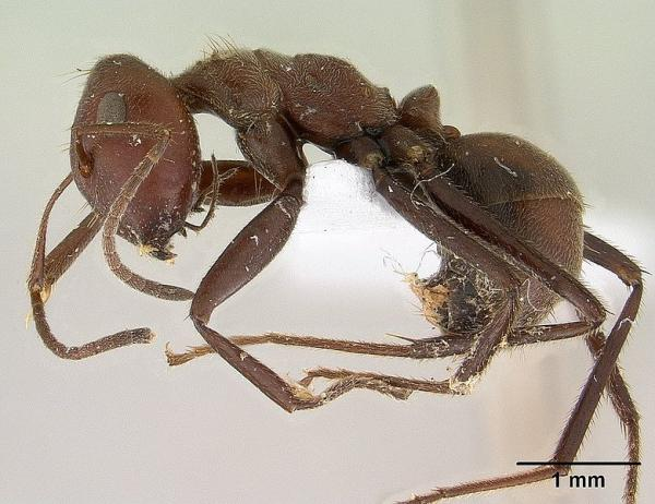 Profile view of ant Camponotus saundersi.