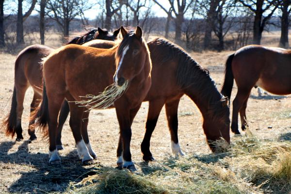 Mustangs at breakfast on the Triple 7 Ranch.