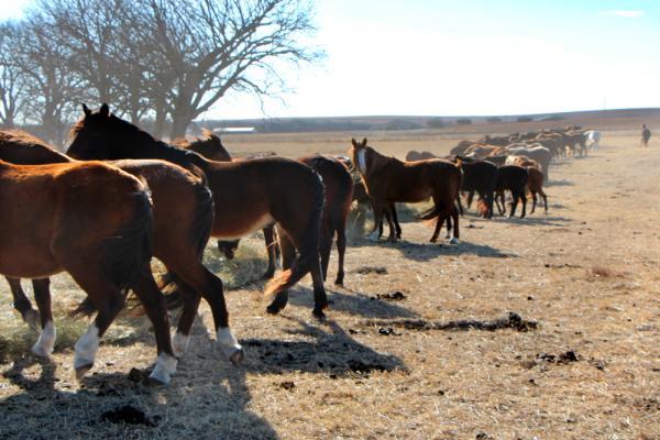 Geldings in a separate pasture eating brome hay.