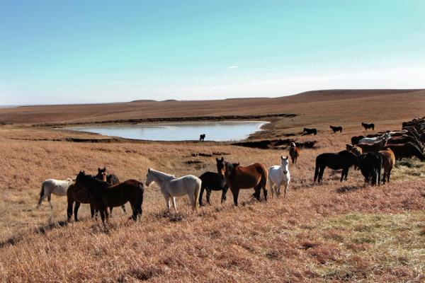 Mares at the lake in the Flint Hills