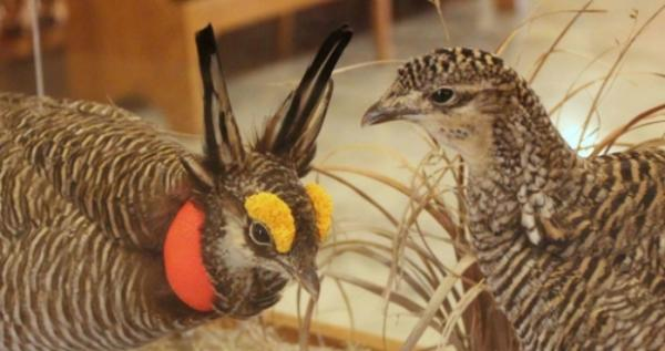A mounted pair of lesser prairie chickens on display in the Kansas Statehouse.