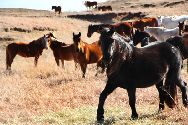 Fury and her mare buddies at the Flint Hills ranch, Feb. 2014 - This summer they were removed to the Scott City feed lot. Eighty of them perished.