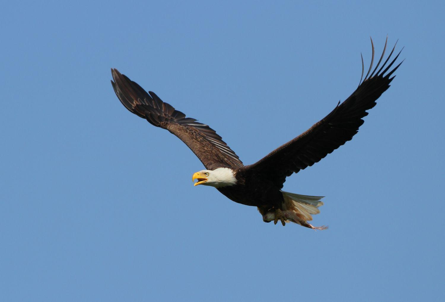 bald eagle endangered species essay The bald eagle (haliaeetus leucocephalus) is a bird of prey in north america it  can be found in north america, canada, alaska, and northern mexico.