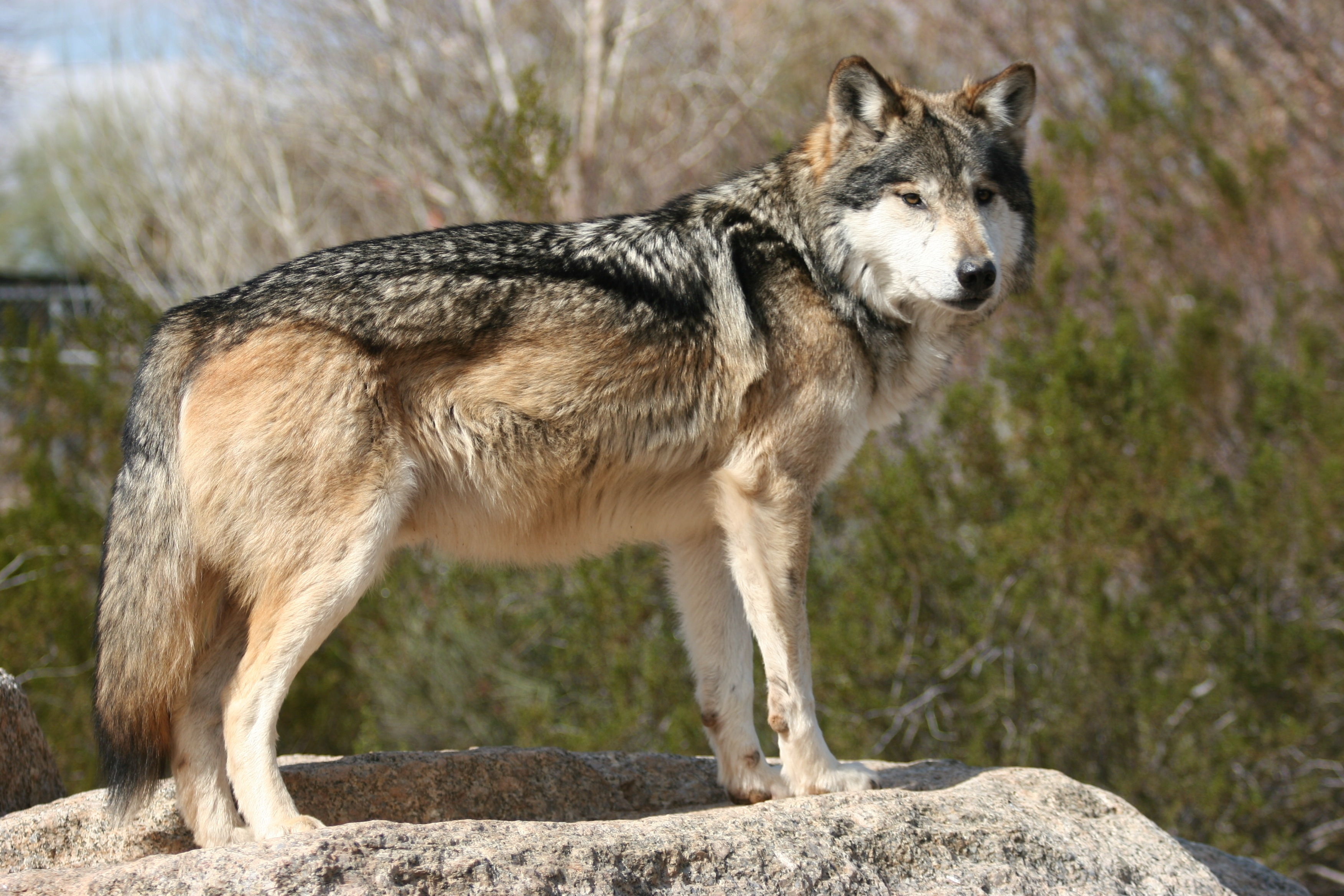 Mexican grey wolf - photo#24