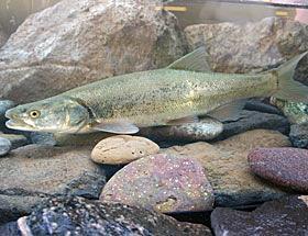 Colorado Pike Minnow