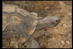 Agassiz Desert Tortoise