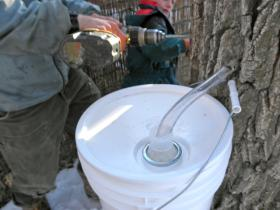 Extracting syrup from a box elder