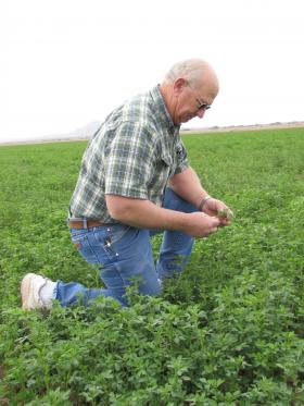 David Sharp and his brother grow 2,400 acres of alfalfa, wheat and cotton. He says alfalfa is a good rotation crop because it puts nitrogen back in the soil. There's also a big market for it in the U.S. and overseas.