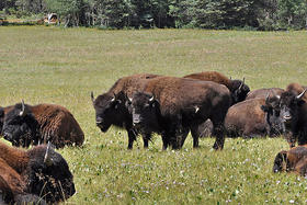 Bison on the North Rim of the Grand Canyon