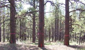 Ponderosa pine trees prior to being thinned