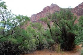 Invasive tamarisk trees in the Grand Canyon