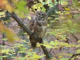 A Mexican spotted owl