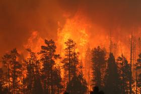Flames from the Wallow Fire — Arizona's largest-ever wildfire — consume pine trees in 2011.