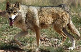 As of January 2014, officials said 83 Mexican gray wolves roamed the Blue Range Wolf Recovery Area in eastern Arizona and New Mexico.