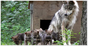 Captive Mexican gray wolf pups with their mother.