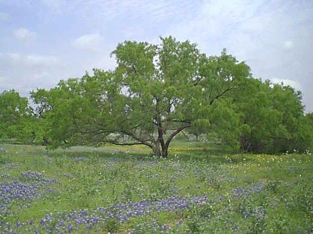 A desert mesquite tree.