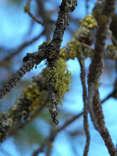 Lichen on a ponderosa pine branch