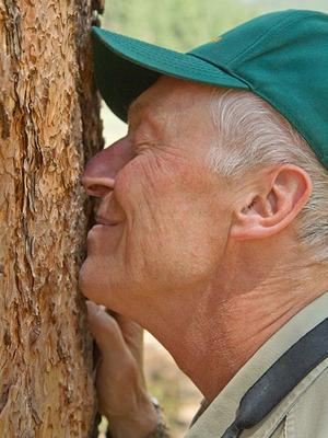 U.S. Forest Service guide Steve Hirst sniffs a Ponderosa pine during a July hike in an area near the Hot Shot Ranch in the Coconino National Forest outside Flagstaff.
