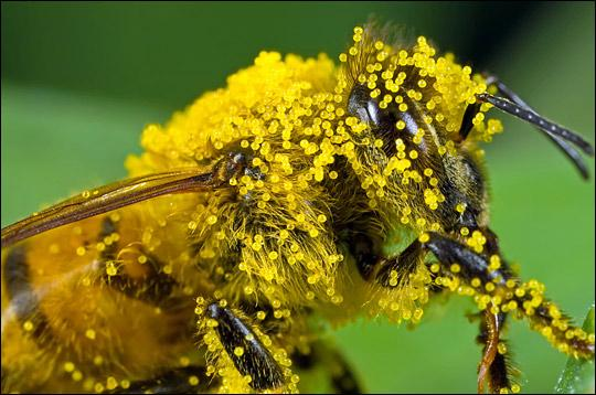 A bee covered in pollen.
