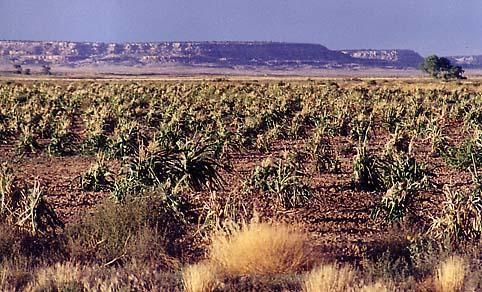 Hopi corn field