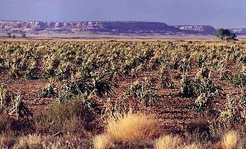 Hopi corn field